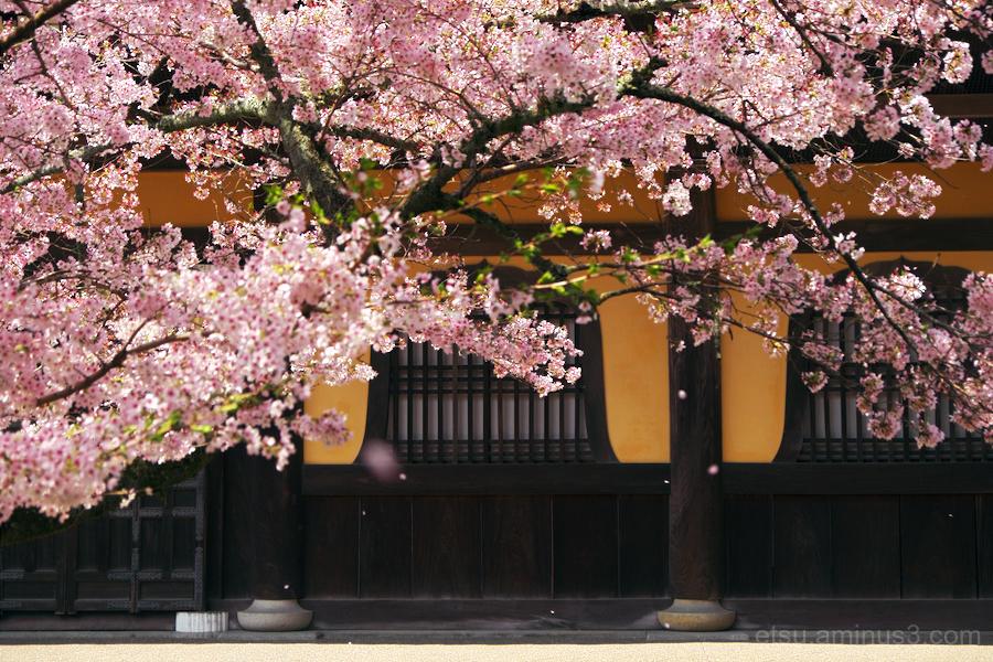cherry-blossoms in Nanzen-ji temple