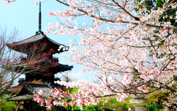 Cherry blossoms in Shinnyodo temple