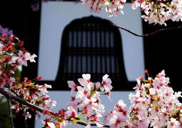 Cherry blossoms in Krodani temple