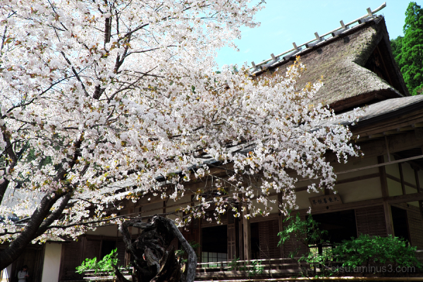 Thatched roofed temple with cherry blossoms