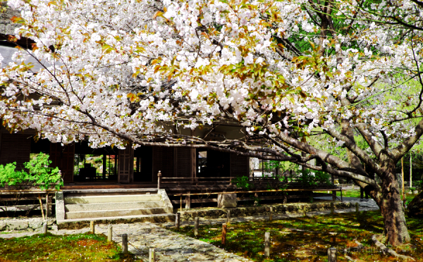 Main hall of a temple with cherry blossoms