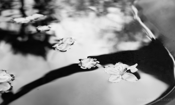 Petals on the water(B&W)