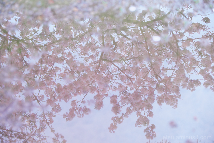 Cherry blossoms in peddle