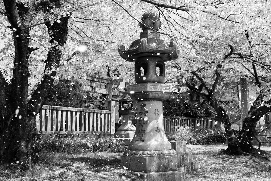 A storm of falling cherry blossoms(B&W)