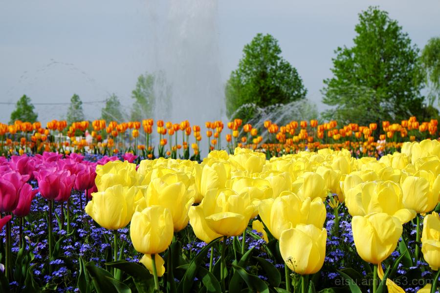 Tulip festival in Toyama