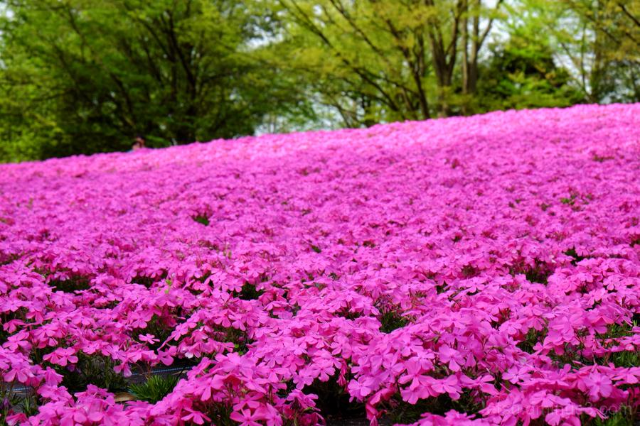 Tulip festival in Toyama-2