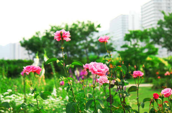 Pink roses(in English garden, Otsu, Shiga)
