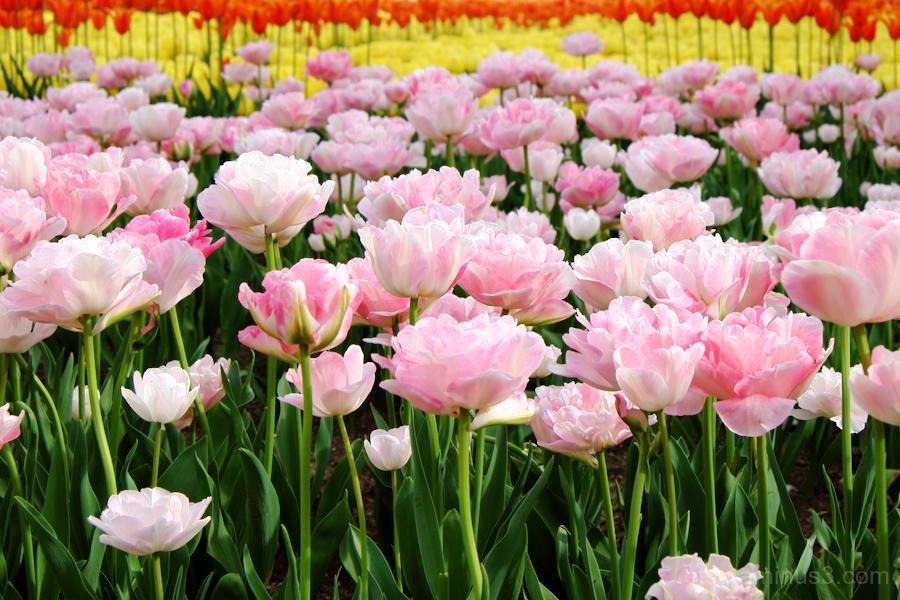 Tonami tulip festival