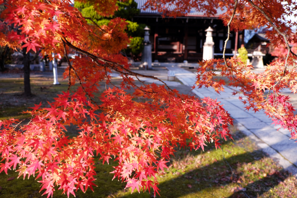 autumn red-maple in Myokenji