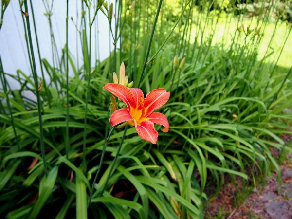 Tiger Lily No. 1