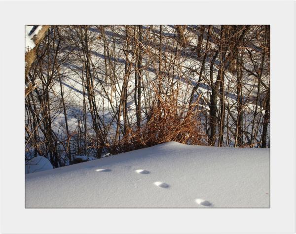 Winter Walk - Fresh Tracks