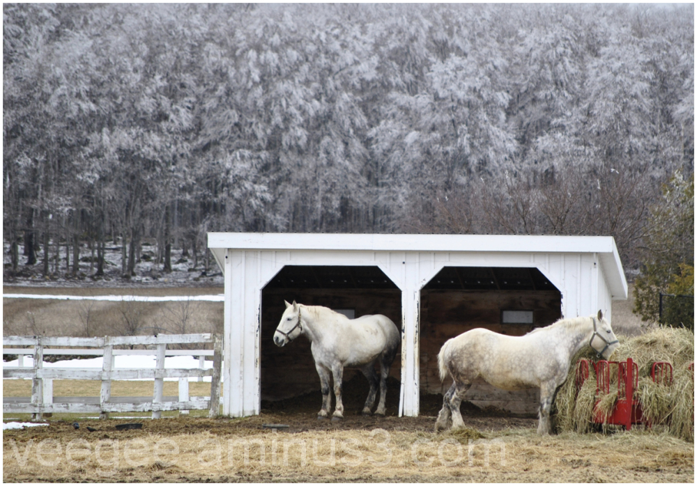 Horses eating hay in early spring after ice storm