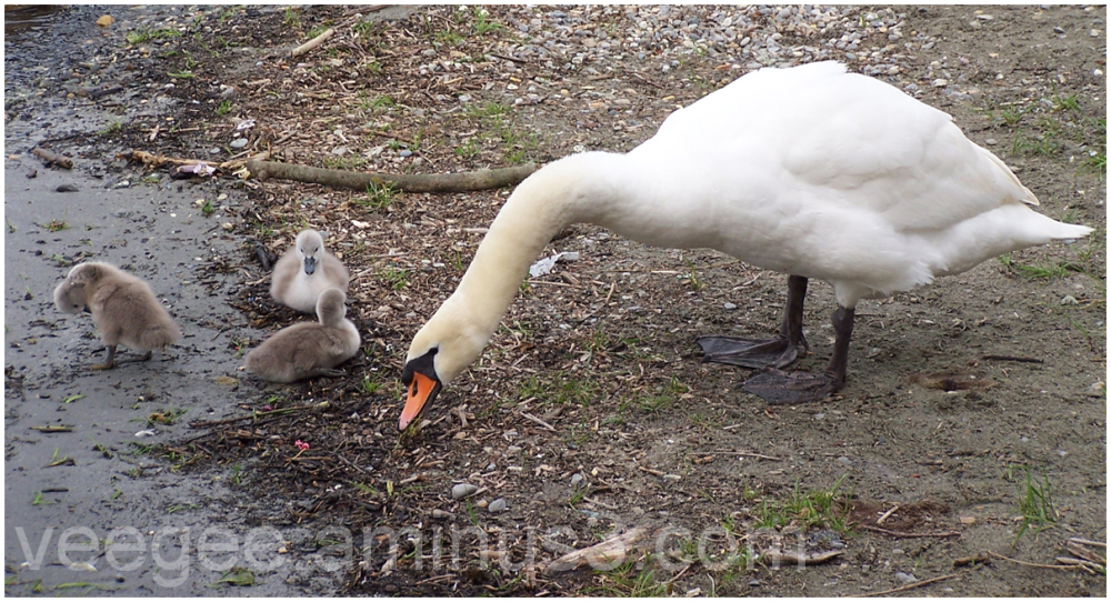Swan keeps an eye on her signets