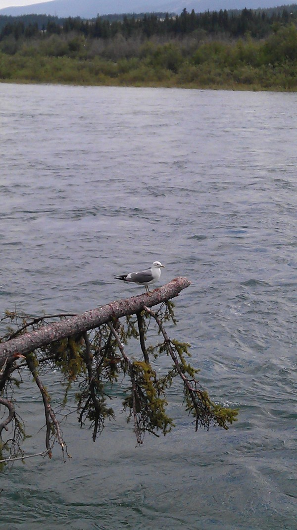 Seagull of the Yukon