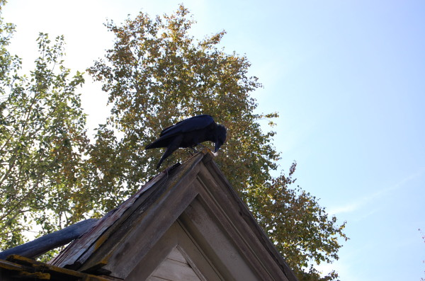 Yukon Ravens