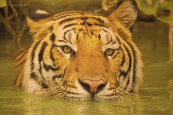 Tigre in attesa