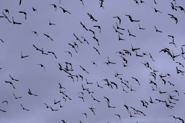 cloud of pigeons