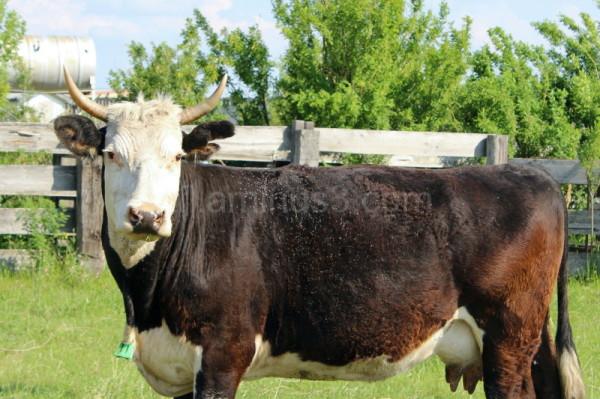 Cow staring at camera