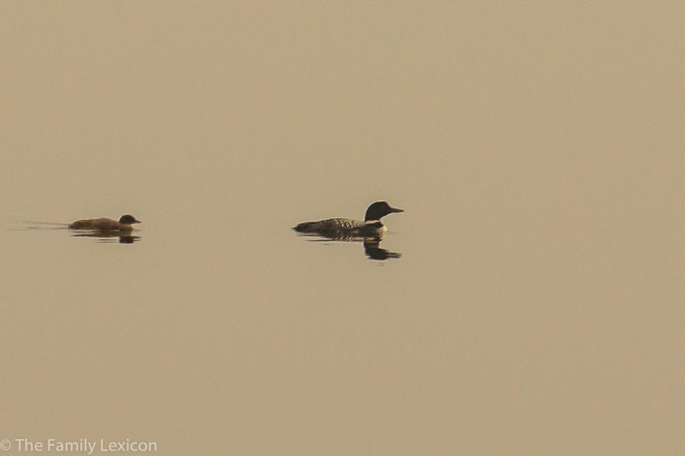 Loons at Lake Audy