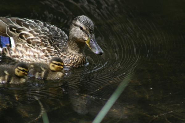 Entenfamilie am Möserersee