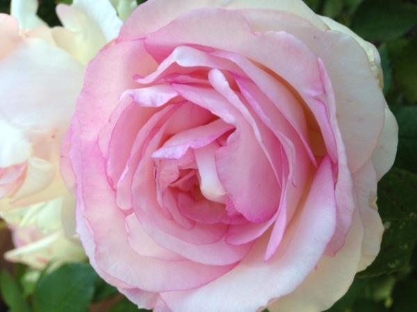 Die letzte Gartenrose für dieses Jahr