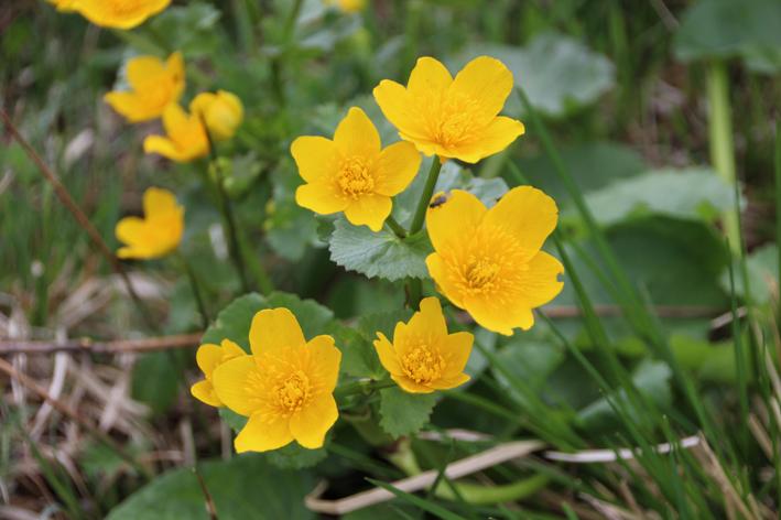 Dotterblumen am Chiemsee