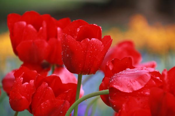 Tulpen in Bad Ems