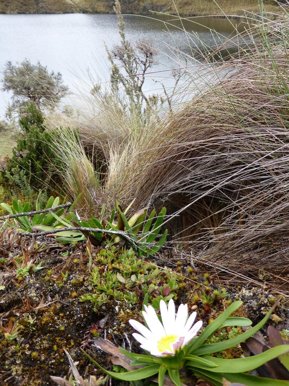 EQUATEUR : balade à 4200 m : solo floral ...