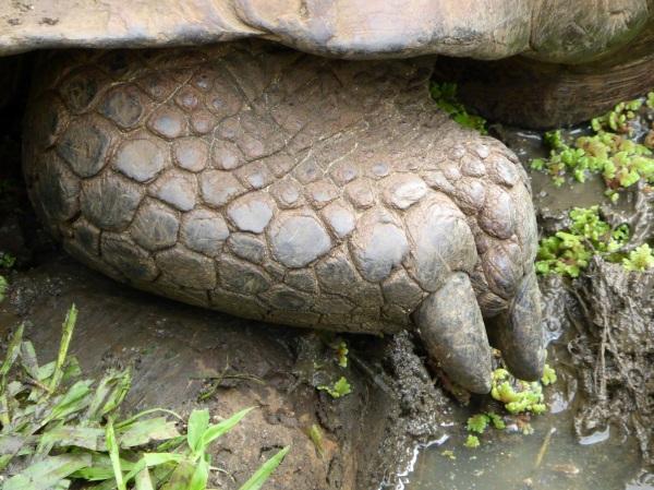 Iles Galapagos : Patte De Tortue gÉAnte