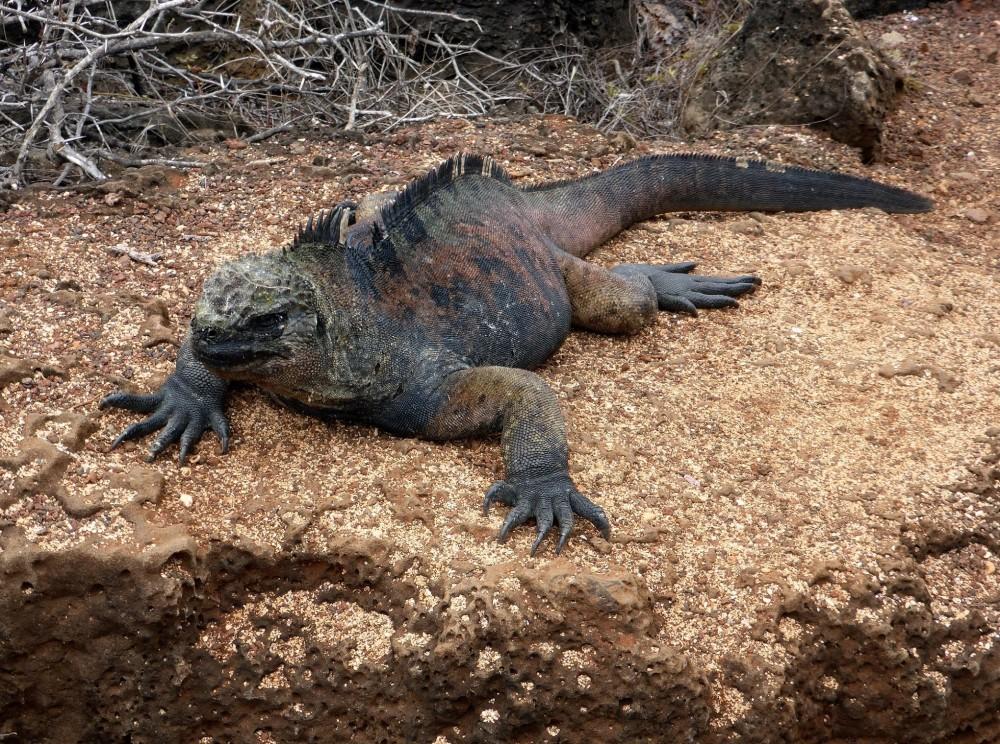 ILES GALAPAGOS : l'iguane marin (un autre emblème)