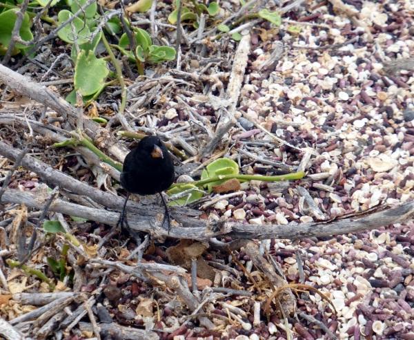 ILES GALAPAGOS : oiseaux -2- minuscule ...