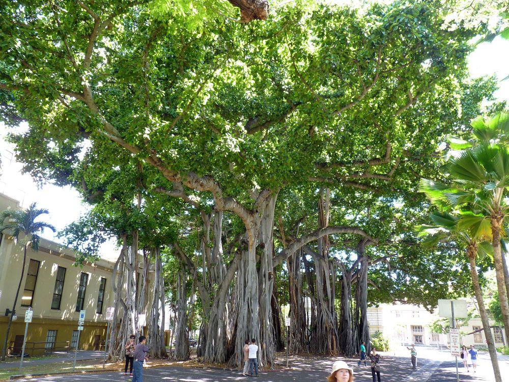 カメハメハ大王像の近くのバニヤンツリー