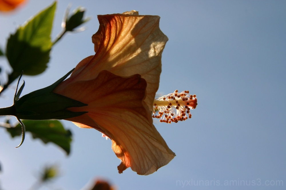 flower, hibiscus