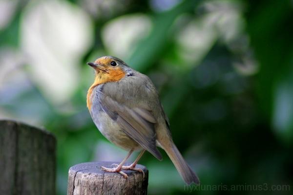 Robin, Redbreast, Bird