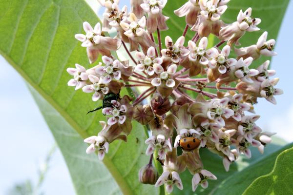Flora Insectum