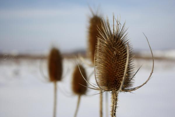 Cold Pricklies