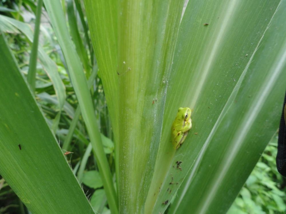 قورباغه سبز