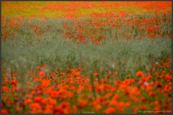 Poppy fields forever ...