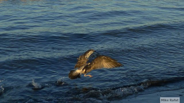 Flying Bird on Water