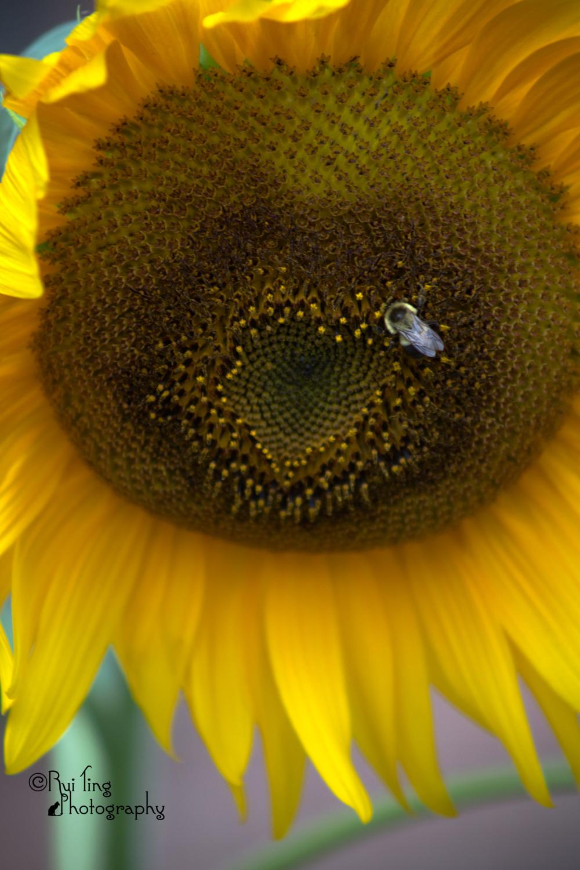 Bee on the sun