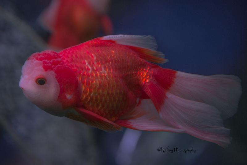 Chinese gold fish
