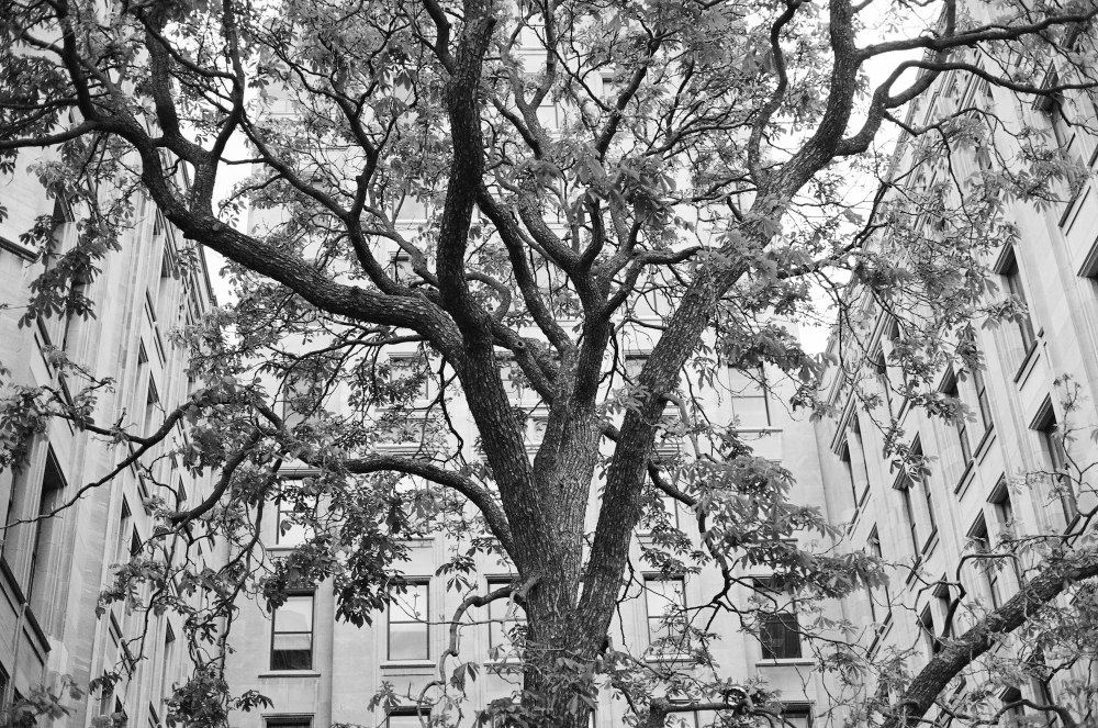Tree in downtown Toronto