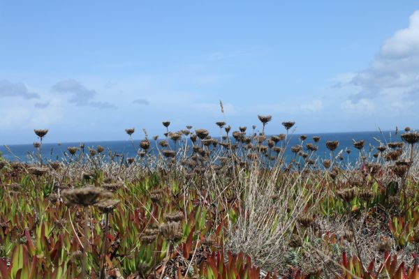 Vegetation on the rocky coasts in Baleal, Portugal