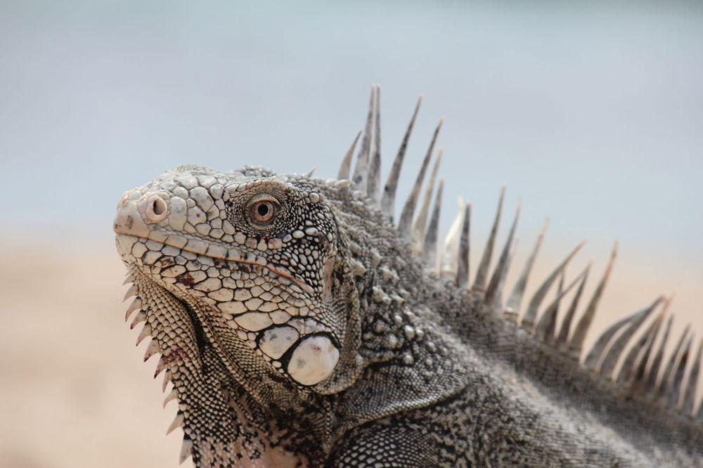 Iguana Lizard at beach in Curacao, Caribbean