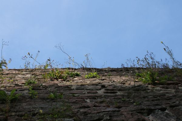 Wall plants on the Heidelberg Schloss