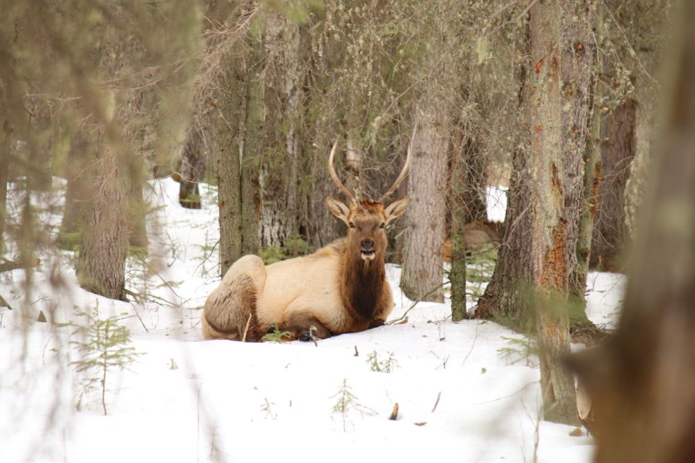 Elk in Winter Forest, Banff, Canada