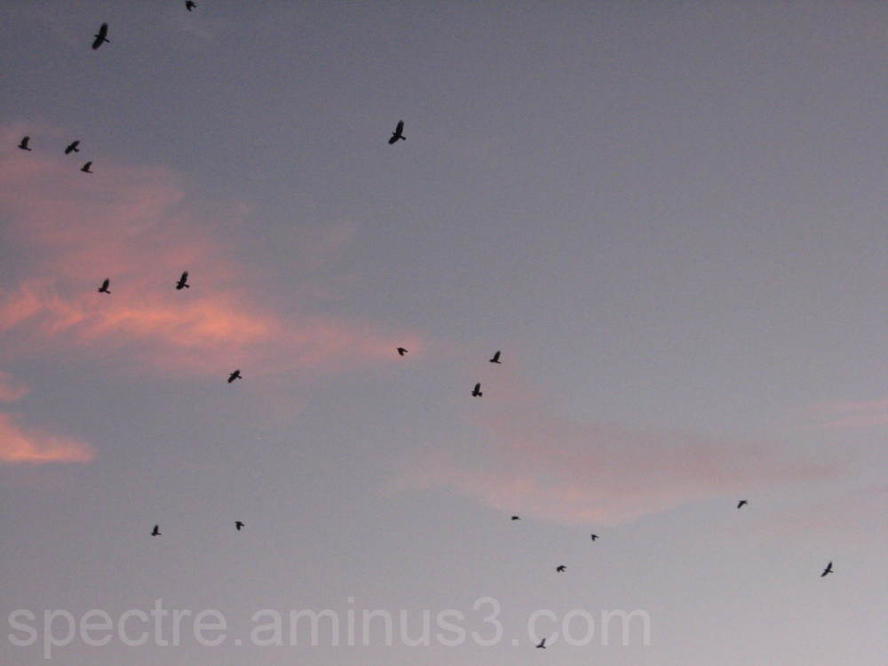 Crows Fly Over in Anaheim