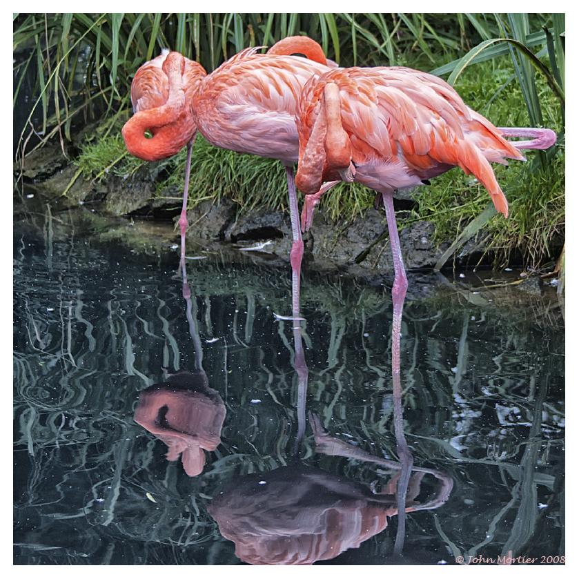 Flamingos dns le parc de Pairi Daiza