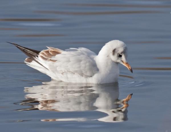 sad shame black-headed gull pugney country park