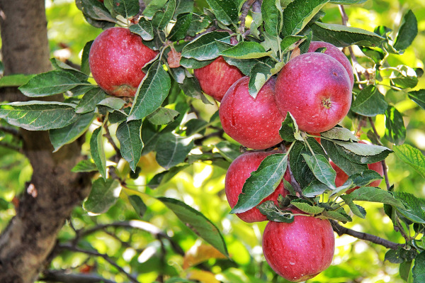 حوا برات سیب آورده ام . نخوری